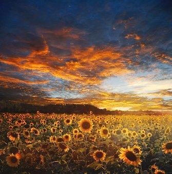 Sunflower Field, Landscape, Scene