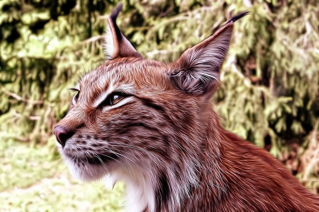 Free Photo Lynx Cat Kitten Tomcat Animals Free