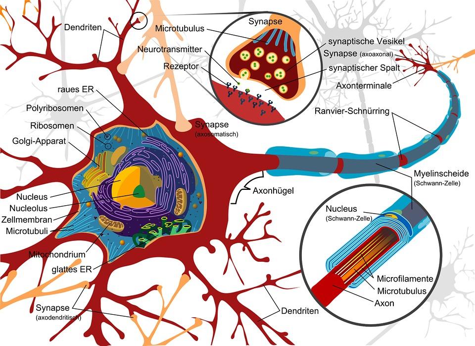 Dibujo, Célula Del Nervio, Neurona, Eléctricamente