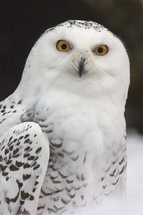 Schneeeule eule zoo kostenloses foto auf pixabay - Image de chouette gratuite ...