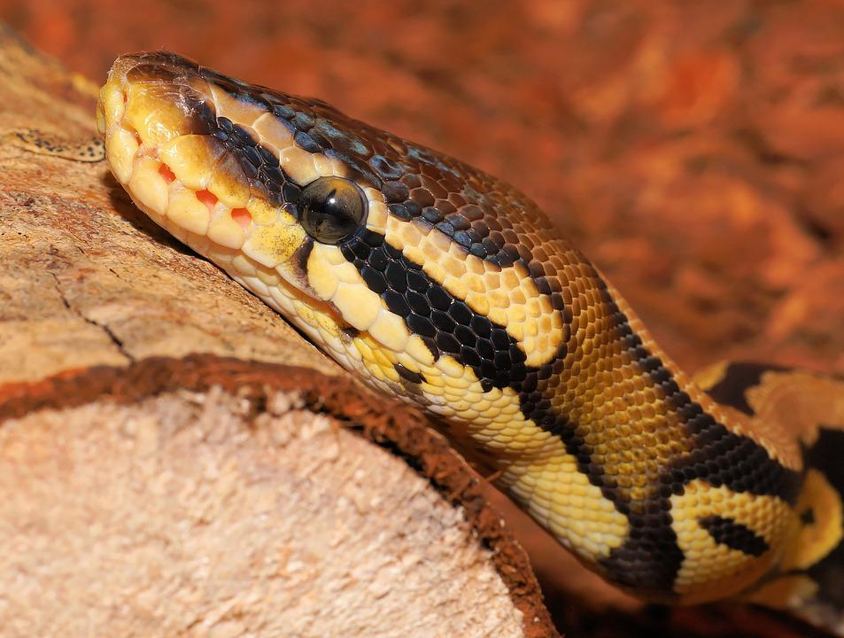 snake python ball free photo on pixabay