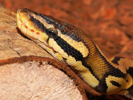 Snake, Python, Ball Python, Cute