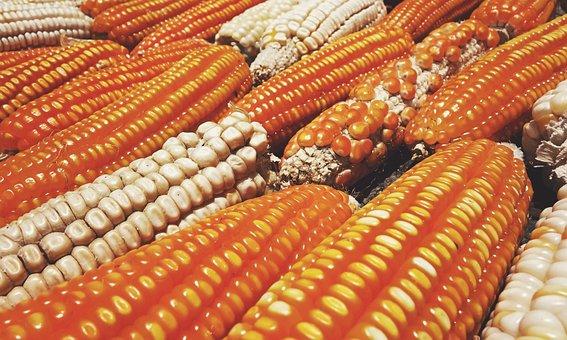 Vegetable, Corn, Food, Healthy, Organic