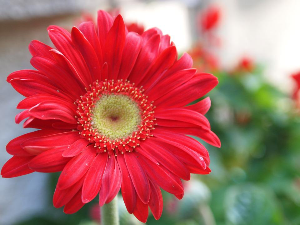 free photo gerber daisy, flower, red, gerber  free image on, Natural flower