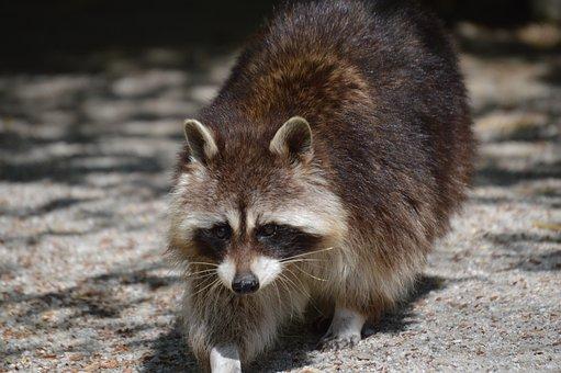 Raccoon, Fur, Animal, Furry