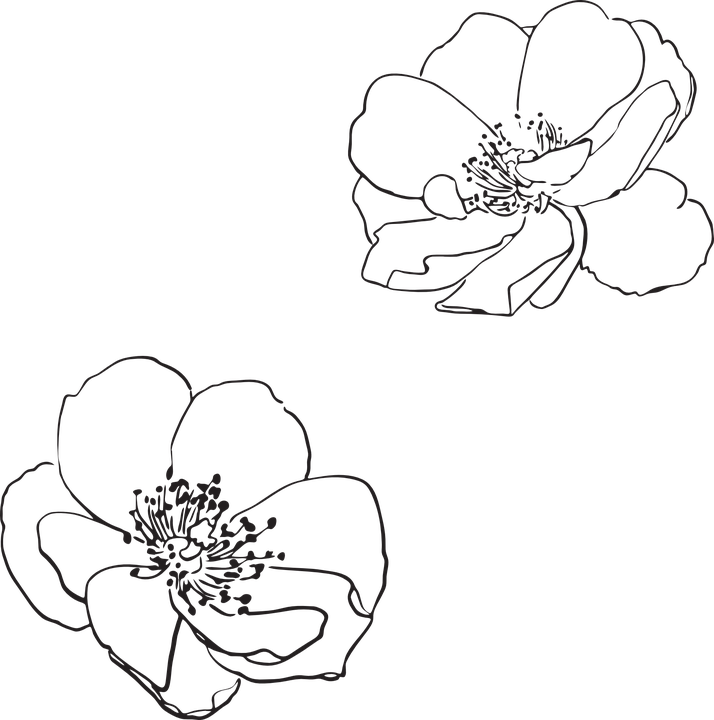 free vector graphic  rose  wild  flower  flowers