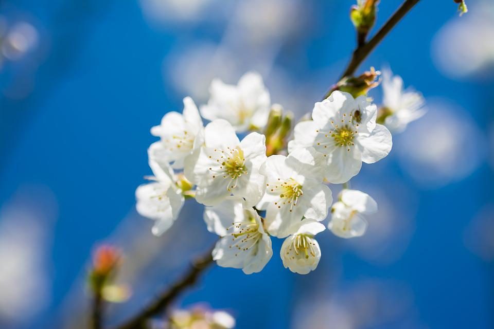 Cherry spring flower free photo on pixabay cherry spring flower beautiful blue sky white mightylinksfo
