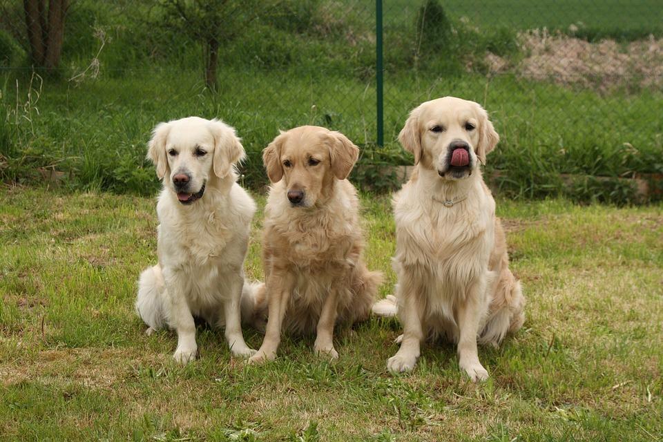 Dogs Like Golden Retriever
