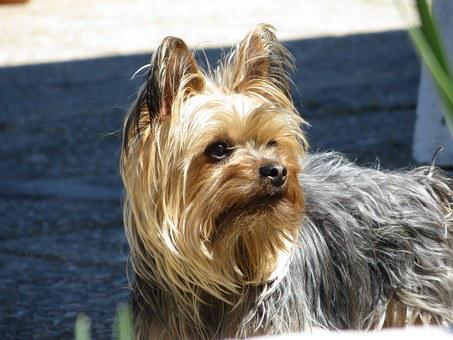 Dog, Yorkshire, Pet, Yorkshire Terrier