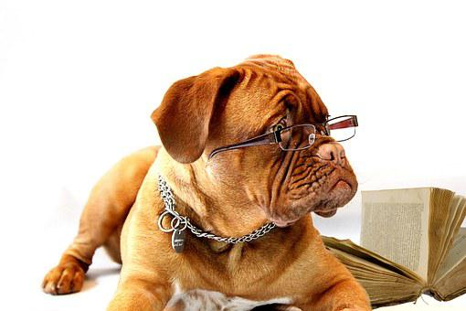 Hund, Dogue De Bordeaux, Mastiff