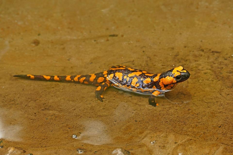 Free photo: Fire Salamander, Lizard, Nature - Free Image on ...