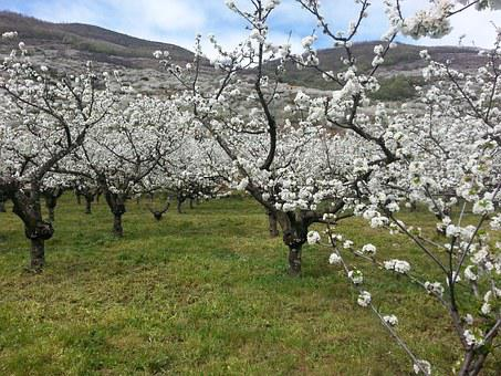 Cerezos, Valle, Jerte, Flores, Primavera