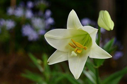 free lily