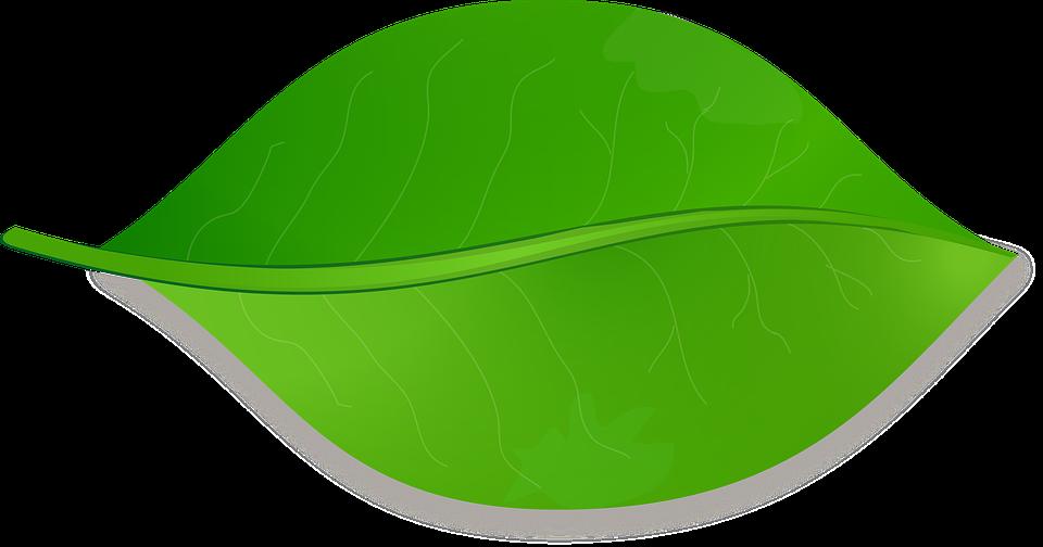 De la hoja naturaleza rbol imagen gratis en pixabay for Arboles de hoja perenne en galicia