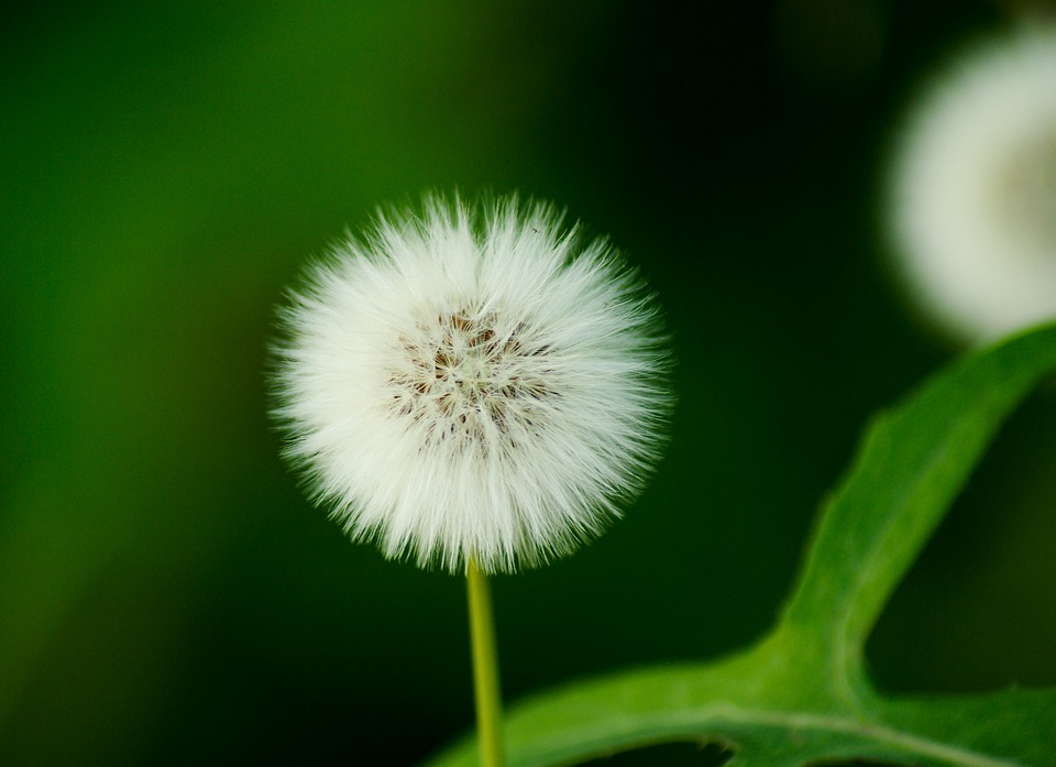 white flower japanese dandelion - photo #8