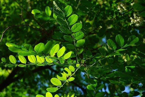 100 Free Acacia Tree Tree Images Pixabay