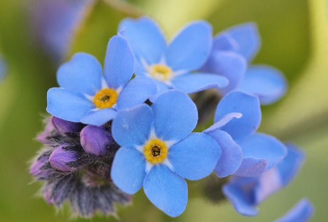 Free Photo: Forget Me Not, Flowers, Flower