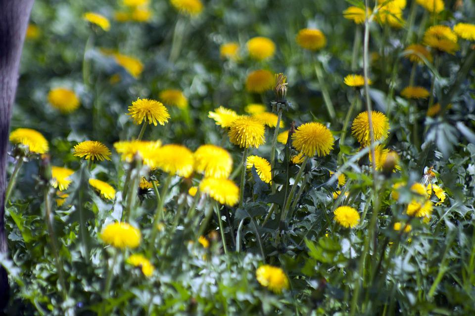 Gula blommor på våren