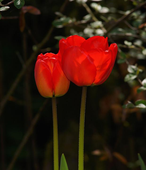 free photo tulips, flowers, spring, red, color  free image on, Natural flower