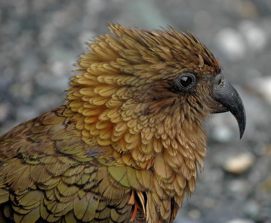 gratis foto kea nieuw zeeland papegaai vogel gratis afbeelding op pixabay 738676. Black Bedroom Furniture Sets. Home Design Ideas