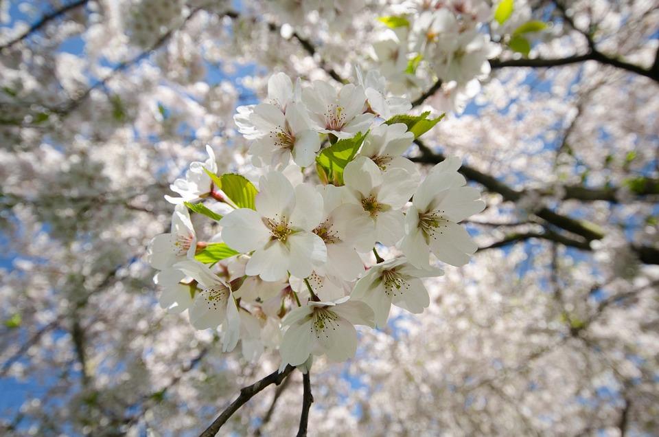 Blüte Weiß Kirsche · Kostenloses Foto auf Pixabay
