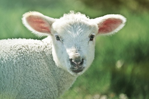 Lamb, Sheep, Animal, Schäfchen, Cute