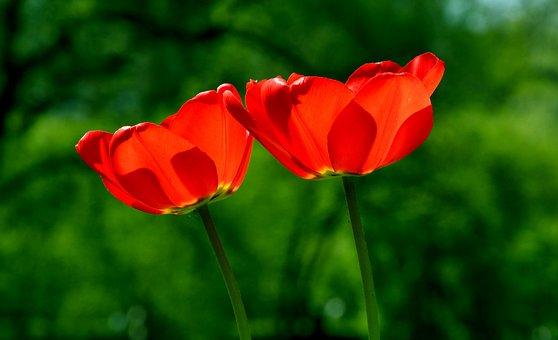 Primavera, Tulipán, Flor, Naturaleza