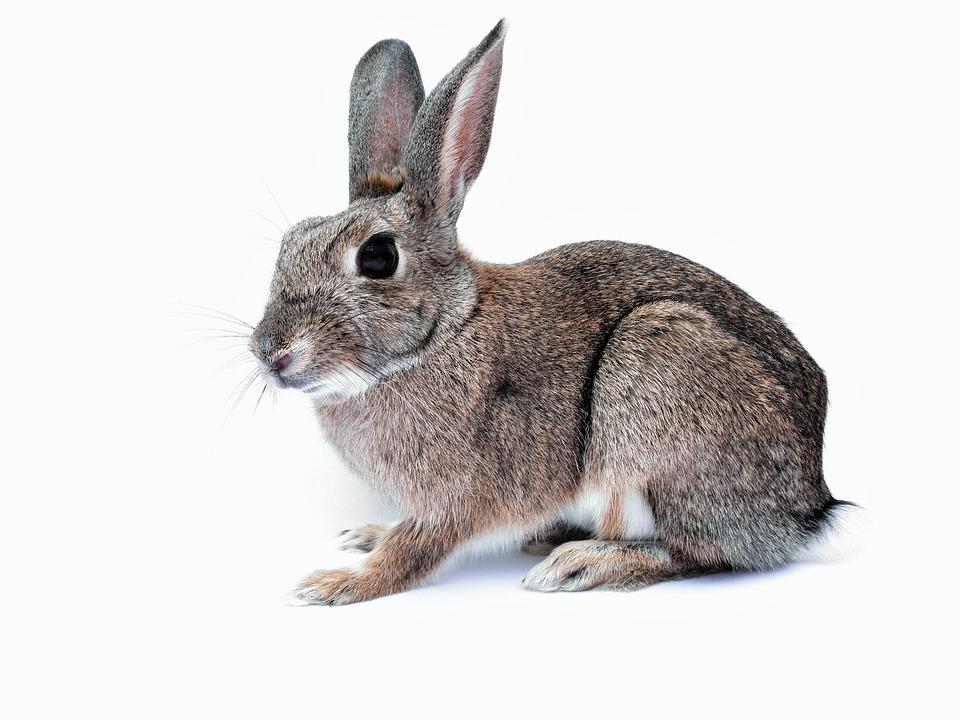 Kaninchen hase haustier kostenloses foto auf pixabay - Hase zeichnen ...
