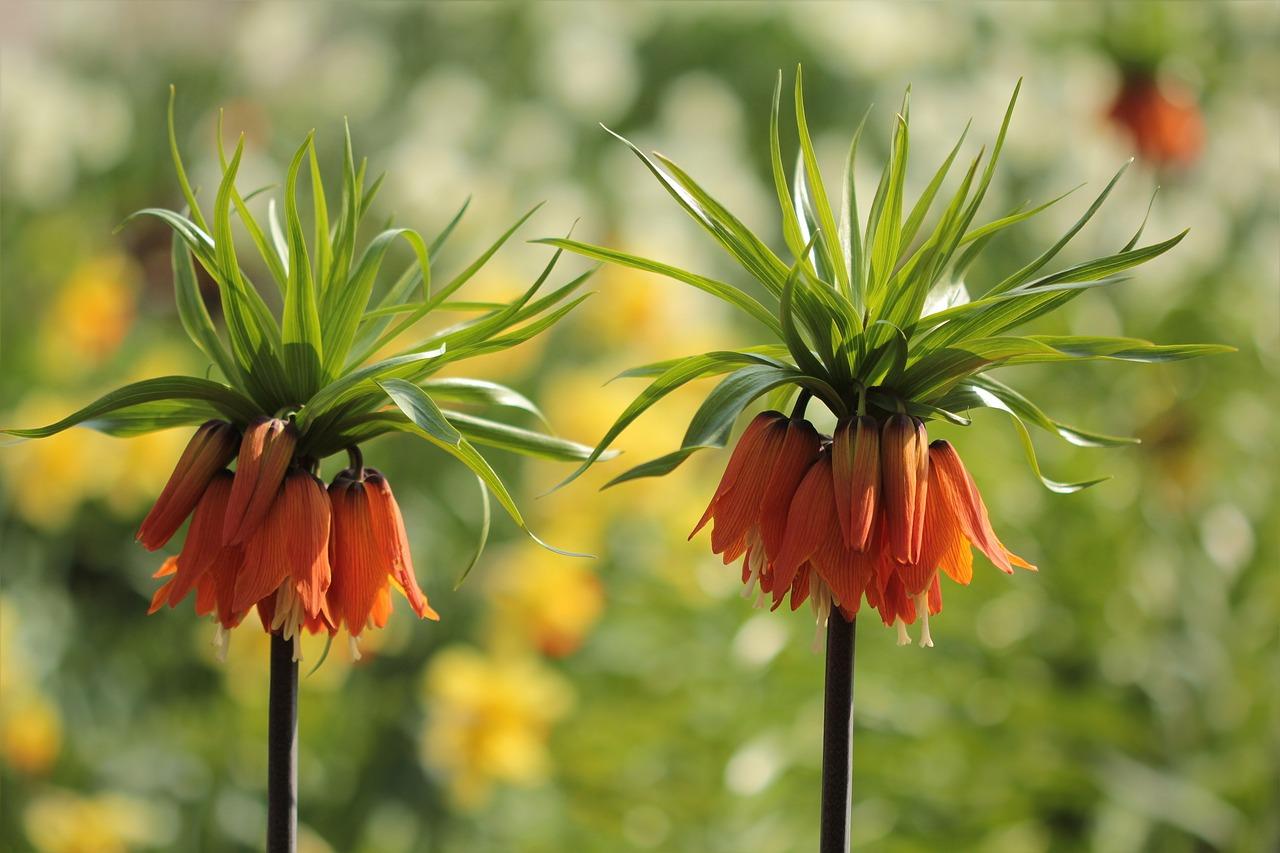 сегодняшний цветы царская корона фото араик уверен