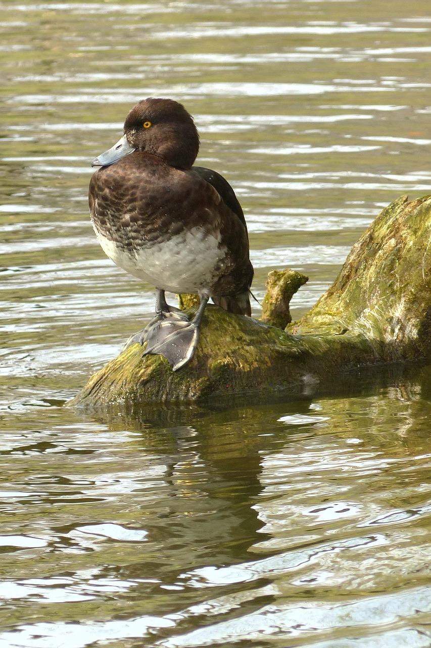 鸟,水,鸭