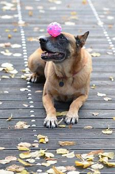 Malinois, Belgian Shepherd Dog, Leaves