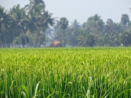 Rice Grass, Nature, Grass, Rice, Green
