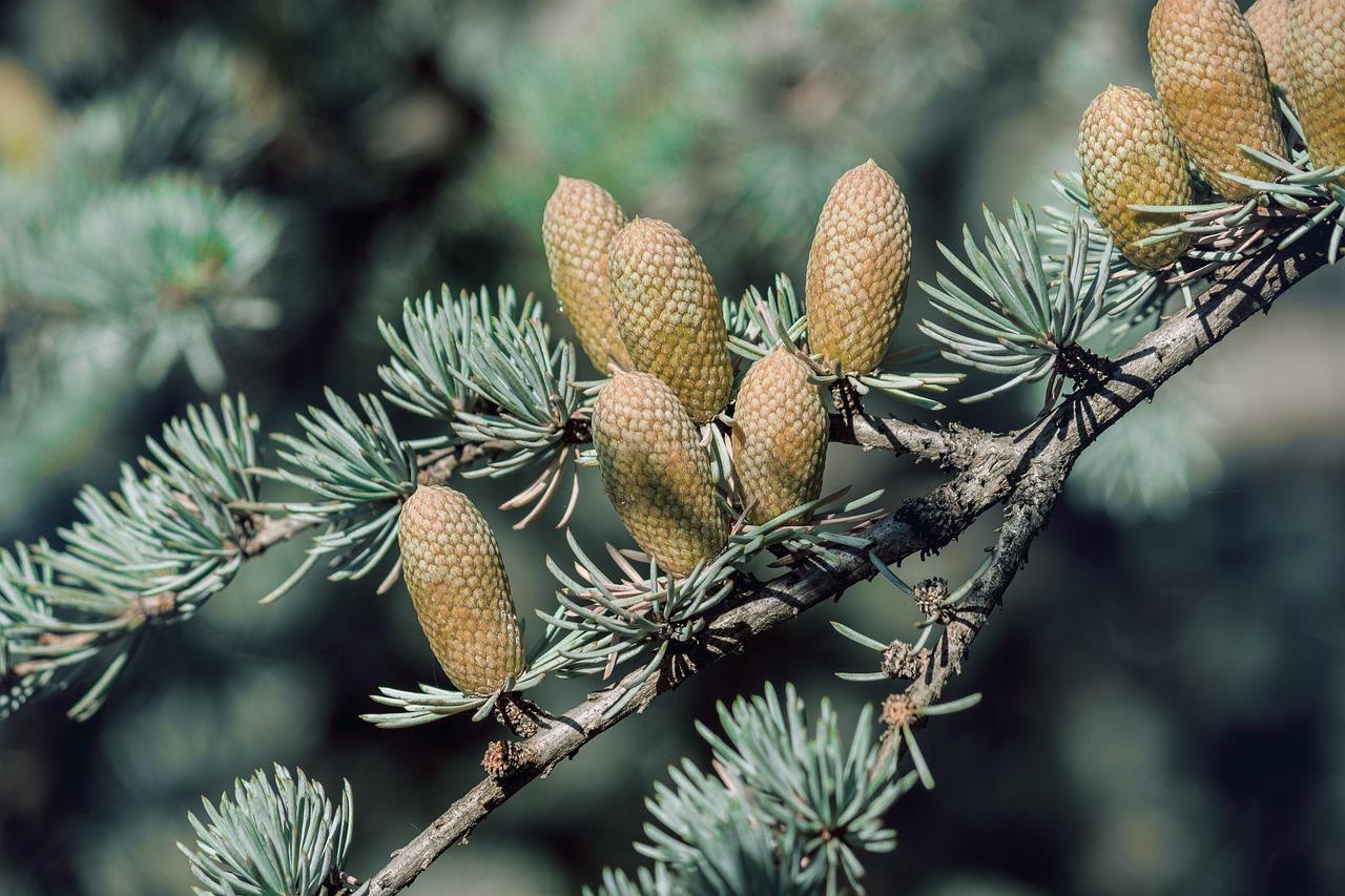 Шишки хвойных деревьев картинки с названиями