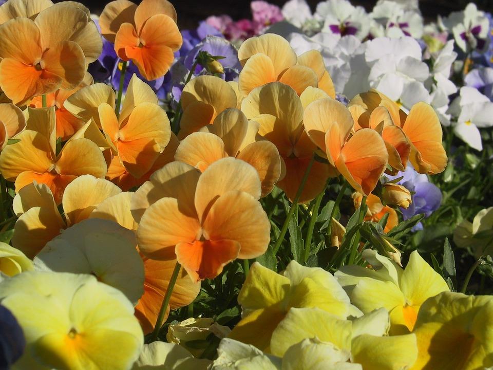 Fleurs Pensees Colore Photo Gratuite Sur Pixabay