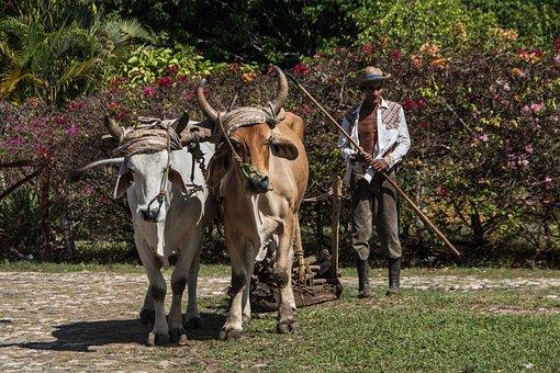 Agriculture, Ox, Livestock, Farm, Cuba