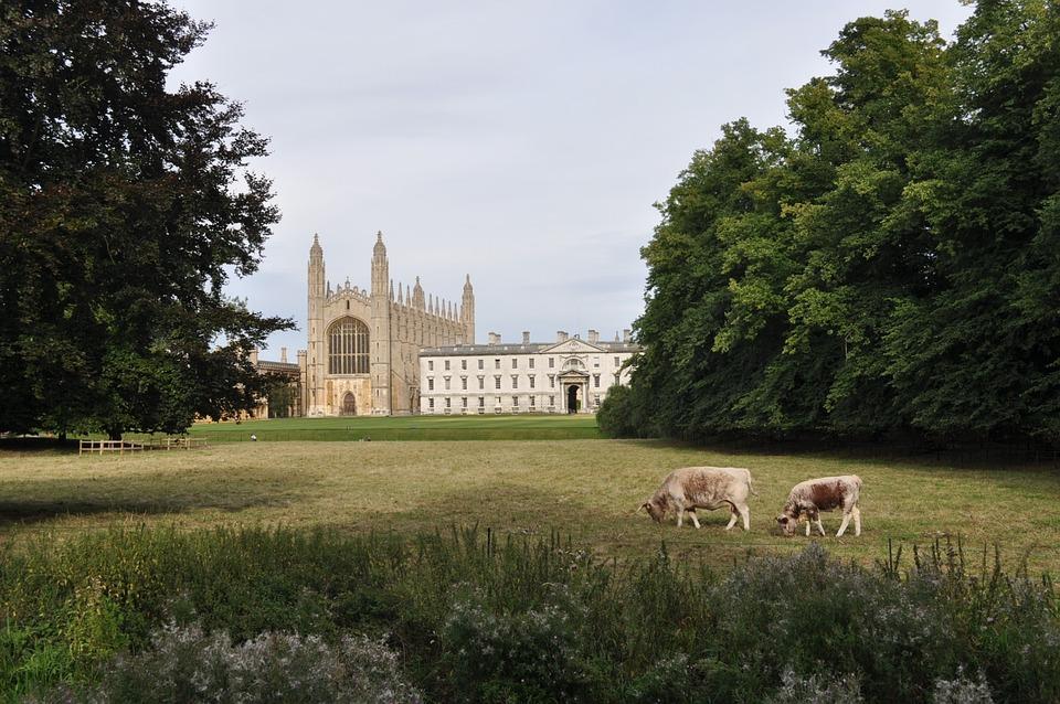 Cow, City, Cambridge