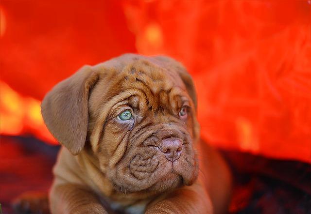 Puppy Dogue De Bordeau...