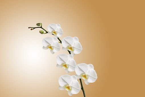 Orchid flower images pixabay download free pictures 3100 free images of orchid flower mightylinksfo