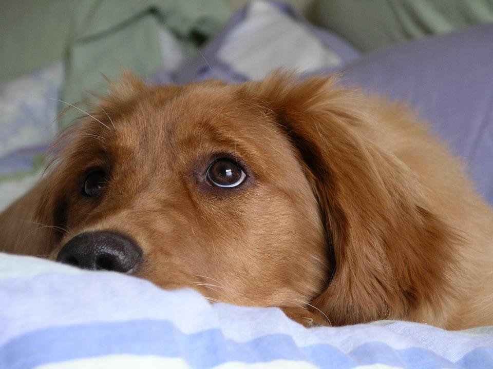 Golden Retriever, Big Eyes, Cute, Dog, Adorable, Fur