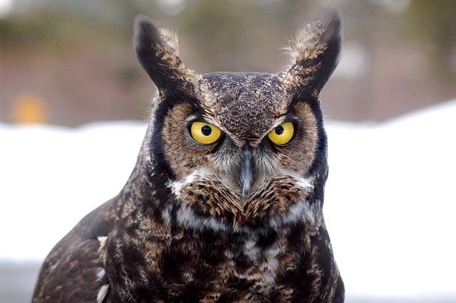 free photo great horned owl bird owl free image on