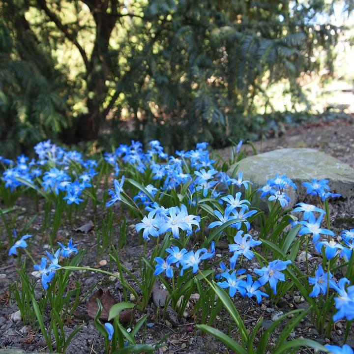 Blue flowers bolplant garden free photo on pixabay blue flowers bolplant garden spring nature bloom mightylinksfo