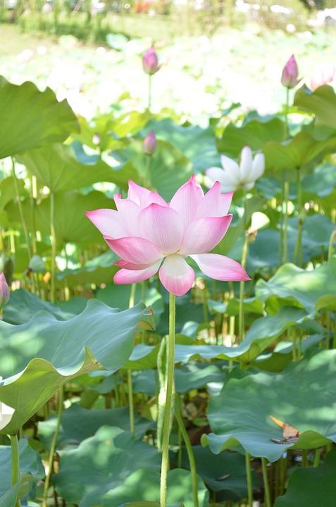 free photo lotus, flower, dutch, water lotus  free image on, Natural flower