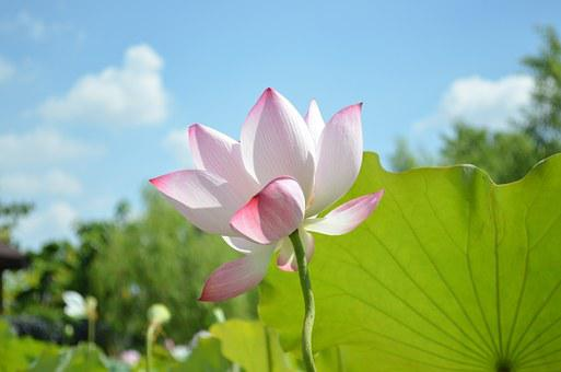 Lotus images pixabay download free pictures lotus sky green leaves blue day red flower mightylinksfo