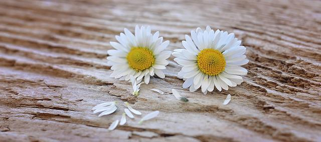 Free photo: Flowers, Daisy, White-Yellow, Wood - Free ...