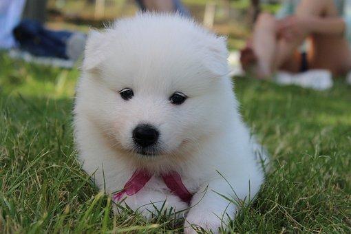 개, 강아지, 사모예드, 스피츠, 화이트, 공, 장난감 곰, 사모예드