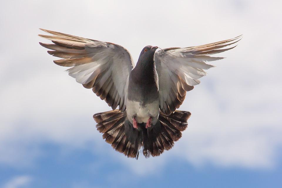 Ученые рассказали о сходстве голубей и азартных людей