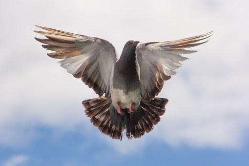 Pigeon, Flight, Twig