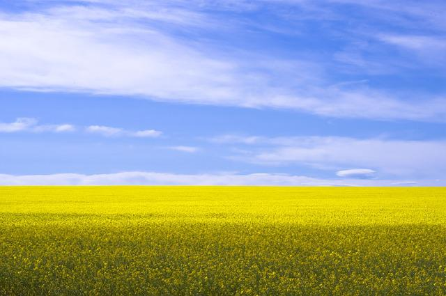 free photo canola field yellow agriculture free