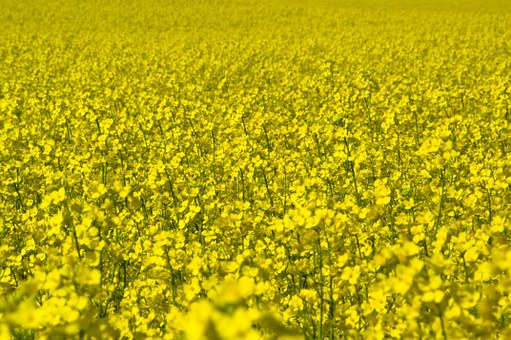 Canola, Field, Yellow, Agriculture