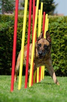 Agility, Slalom, Malinois, Hundesport